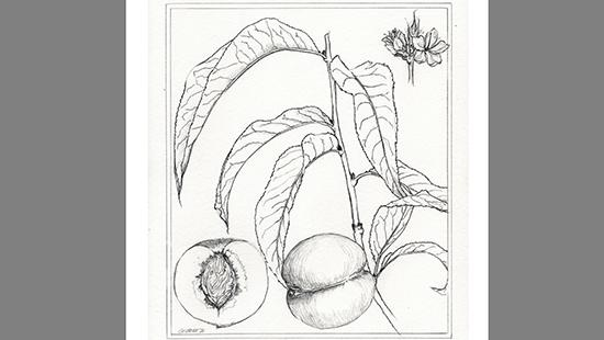 Sketch of a peach on a tree limb with a blossom sketch in the upper right corner and a peach cut in half in the lower left corner.