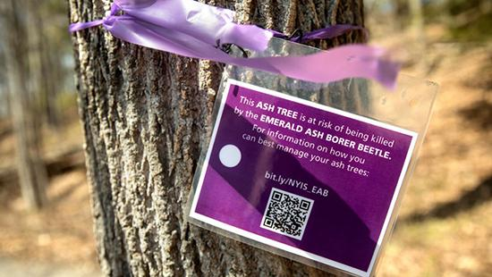 purple sign about ash borer beetles tied around a tree trunk with a purple ribbon