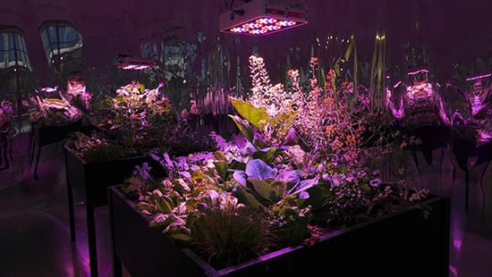 An installation view image of Meg Webster's 2016 grow room with glowing magenta and violet lights