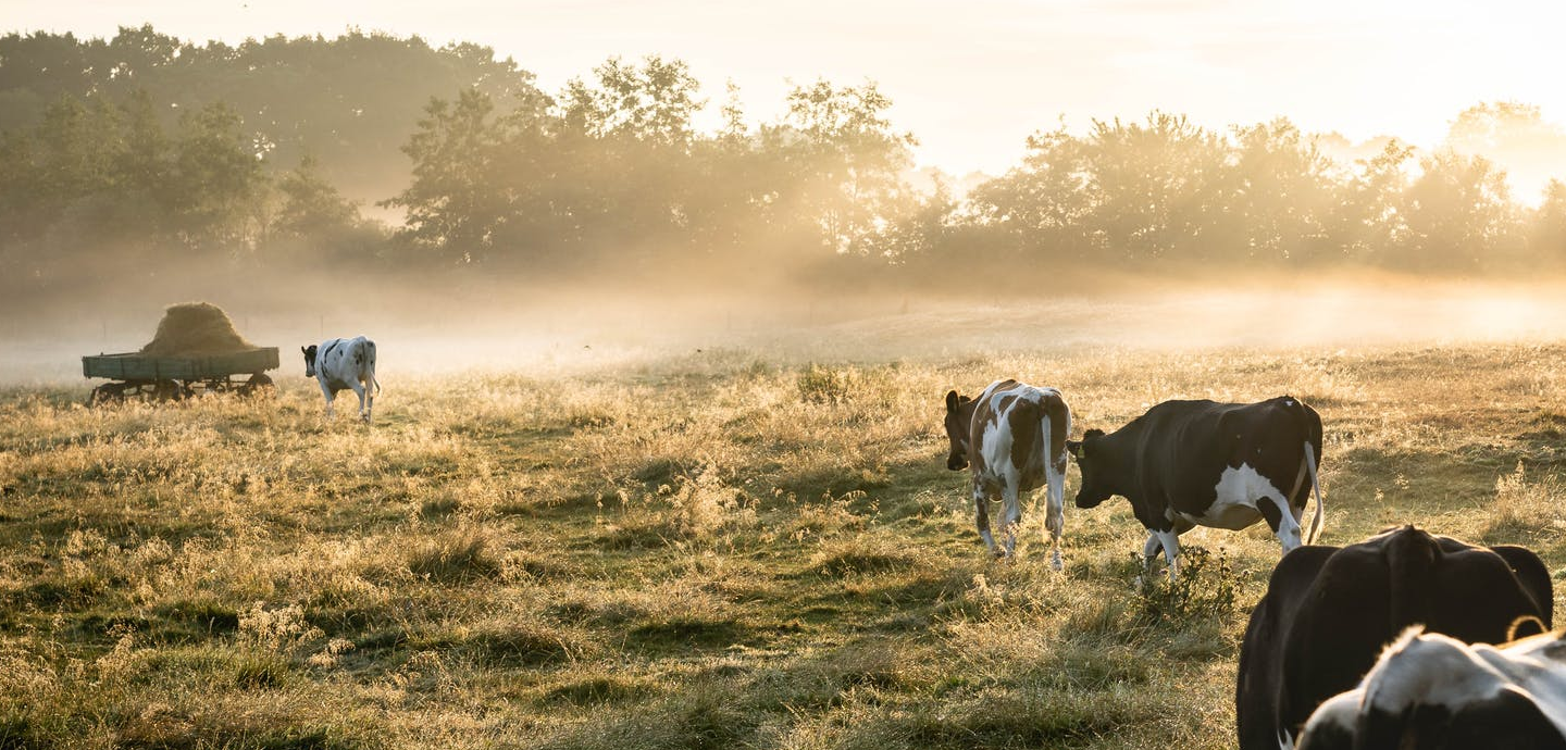 photo of cows on agricultural land with sunbeams