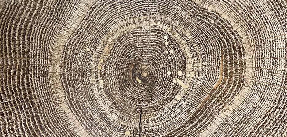 Detail of a tree ring with different shades of brown in a circular pattern.