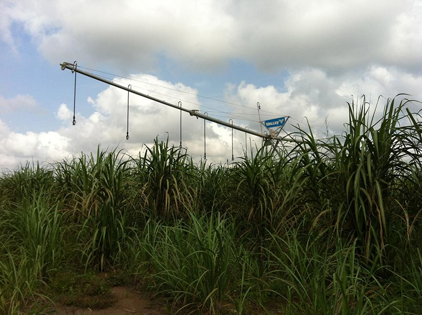 sugarcane field in the foreground with puffy clouds in the blue sky